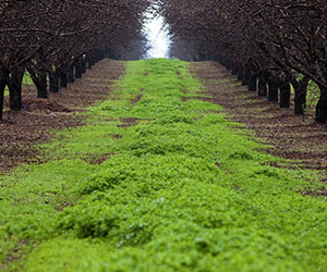 Cover crops in an almond orchard