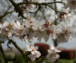 Water on almond blooms
